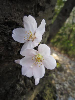 Sakuraappu9